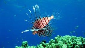 Lionfish comune, volitans del Pterois Fotografie Stock Libere da Diritti