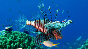Lionfish comune, volitans del Pterois Immagini Stock Libere da Diritti