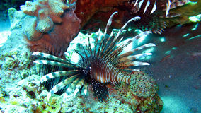 Lionfish comune, volitans del Pterois Immagine Stock