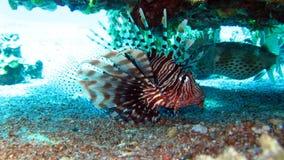 Lionfish comune, volitans del Pterois Fotografia Stock