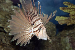 Lionfish in Coral. The majestic lionfish swimming in coral Stock Image