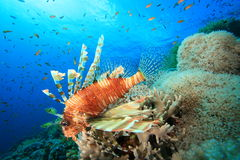 Lionfish and Coral Reef Stock Images