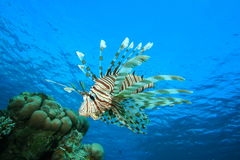 Lionfish and Coral Reef Stock Photos