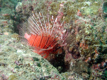 Lionfish in coral reef. Lionfish swimming in tropical coral reef royalty free stock photos