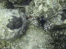 Lionfish in coral reef. Camouflaged lionfish swimming in tropical coral reef stock images