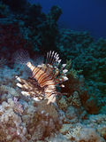 Lionfish and coral reef at background Royalty Free Stock Photo