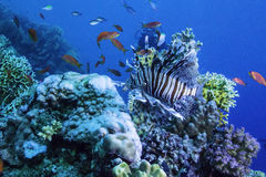 Lionfish in a Coral Reef. A beautiful Lionfish in a reef watched by a diver Royalty Free Stock Photos