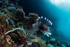 Lionfish and Coral Reef in Indonesia Stock Photography