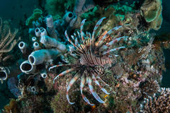 Lionfish on Coral Reef Royalty Free Stock Images
