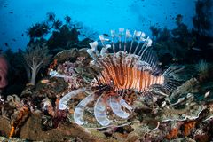 Lionfish and Coral Reef in Raja Ampat. A Lionfish swims along beautiful coral reef in Raja Ampat, Indonesia. This tropical region is known as the heart of the Stock Photography
