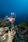 Lionfish and coral reef in the Red Sea. Royalty Free Stock Image
