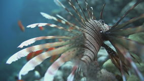 Lionfish on the coral reef underwater. Lionfish among colorful small fishes at the coral reef underwater stock video