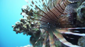Lionfish on the coral reef underwater. Lionfish among colorful small fishes at the coral reef underwater stock video footage