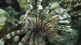 Lionfish on the coral reef underwater. Lionfish among colorful small fishes at the coral reef underwater stock footage