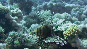 Lionfish on the coral reef underwater stock video footage