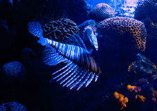 Lionfish In coral Royalty Free Stock Photography