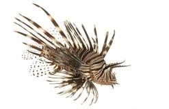 lionfish czerwień fotografia stock