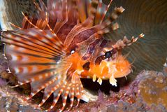 Lionfish da zebra (zebra de Dendrochirus) Fotos de Stock Royalty Free