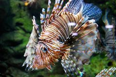 Lionfish dans l'aquarium photo libre de droits