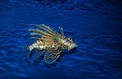 Lionfish dans l'aquarium photographie stock