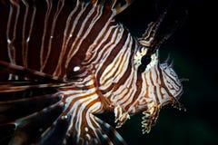 Lionfish dans l'eau foncée dans Alor, Indonésie Images libres de droits