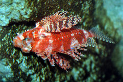 Lionfish de diable Photos stock