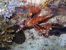 Lionfish de la aleta del punto (antennata del Pterois) imágenes de archivo libres de regalías