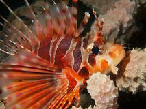Lionfish de la cebra Imagen de archivo libre de regalías