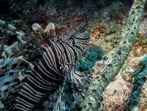 Lionfish in de Largo ertsader van Cayo stock afbeeldingen