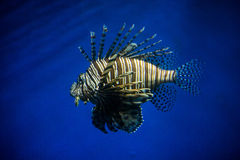 Lionfish de los volitans del Pterois Imágenes de archivo libres de regalías