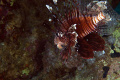 Lionfish in de Red Sea. Stock Photos