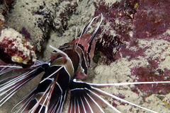 Lionfish in De-Rotem Meer. Lizenzfreie Stockfotos