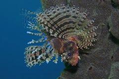Lionfish de Shortfin Photographie stock