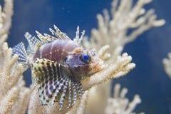 Lionfish de Shortfin fotos de archivo libres de regalías