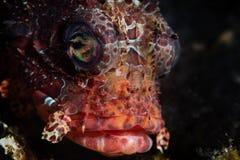 Lionfish de Shortfin no recife em Indonésia fotos de stock royalty free
