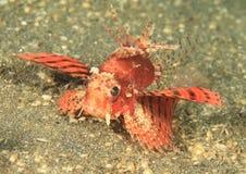 Lionfish de Shortfin - variación roja fotografía de archivo