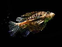 Lionfish de solo Fotografia de Stock Royalty Free
