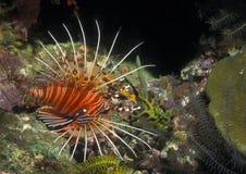 Lionfish de Spotfin - Papua Nueva Guinea Imagenes de archivo