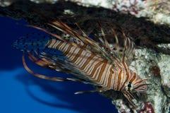 Lionfish de Volitan al revés Fotos de archivo