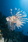 Lionfish decorato immagini stock