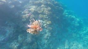 Lionfish del pesce - mare pericoloso delle creature in rosso video d archivio
