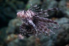 Lionfish della zebra Immagini Stock Libere da Diritti