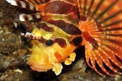 Lionfish della zebra Immagine Stock