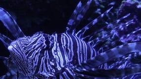 Lionfish, der ein Stückchenblau schaut Lizenzfreie Stockbilder