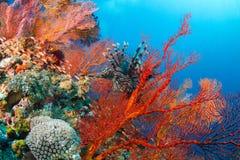 Lionfish in der schönen roten Gebläsekoralle Stockfotos