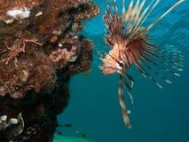 Lionfish, der unten schaut Lizenzfreie Stockfotos