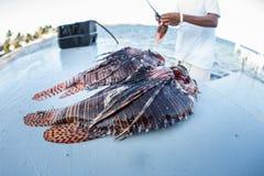 Lionfish die in de Caraïben worden schoongemaakt stock foto's