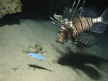 Lionfish die een andere vis jaagt. royalty-vrije stock afbeeldingen