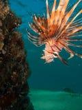 Lionfish die neer eruit zien Stock Fotografie