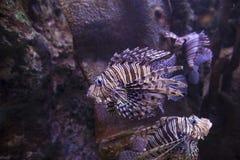 Lionfish die op wrak zwemmen royalty-vrije stock afbeeldingen